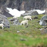 Dall Sheep country