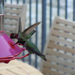  Humming birds on the terrace