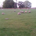 sheep in grounds