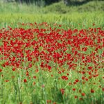  Poppy fields of Achladeri