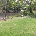  Momma Duck and her little ducklings on river bank befind your room