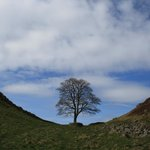 That tree along Hadrian's Wall.