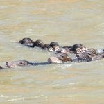  Peccaries crossing the river