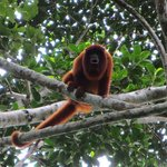  Howler monkey