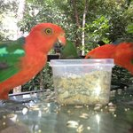  Breakfast with the King Parrots