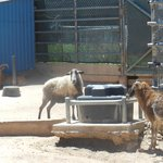 Barbary sheep and Mouflon sheep