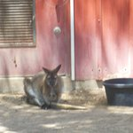  Bennett&#39;s Wallaby