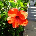 Magnificent Hibiscus in every color on property