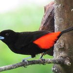 Passerini's Tanager from the dining terrace
