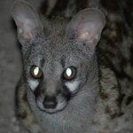  Genet
