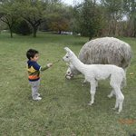  Mi hijo jugando con Francisco (la llama beb)