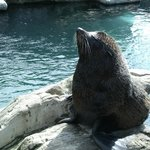  Fur Seal