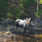  Moose along Highway 60 in Algonquin