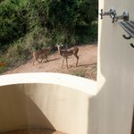 Impala near the outdoor shower