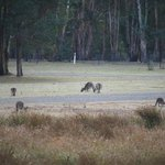 Kangaroos in the open ground
