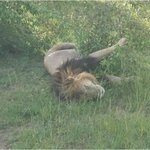 One of Notch's sons after lunch (Notch is a famous lion in the Mara)