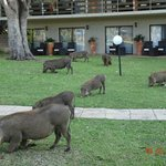  Warthogs grazing in front of our room