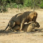 Lions' version of a naughty nap