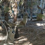Mule deer outside Yosemite Lodge