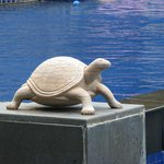  Tortoise near the swimming pool