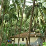  Coconut trees in the resort premises