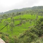 Through the hillside tea plantations