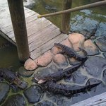  feeding the alligators
