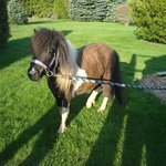 Misty our Miniature Horse