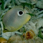 Four Eyed Angelfish, West Bay, Roatan