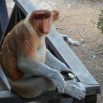 Probiscus monkey