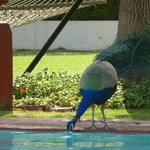  Peacock sharing the pool.