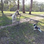 Missy meeting the alpacas :)
