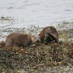 Otters on beach in front of Hotel
