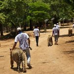 Walking the tigers