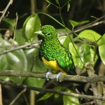 Emerald Cuckoo from the walkway