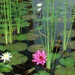  small lotus flowers in tiny ponds outside the room