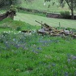  Bluebells in the garden