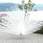  The white peacocks of Isola Bella