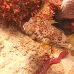  BalloonFish with Luminous eyes