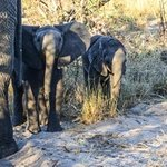 A pair of curious elephant calves, part of herd we spend about 30 minutes with