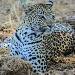 This female leopard was gorgeous and posed for us twice.