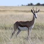  Etosha Springbok