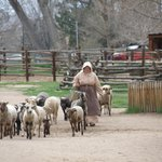 Bringing the sheep in from the pasture