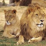 African Lion Safari Lions