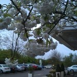 Cherry blossoms in the parking lot