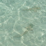  Baby sharks swimming close to shoreline