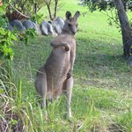Kangaroos roam the property