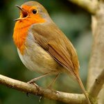 Robin in 12 acre private estate of Enniskeen Country House hotel newcastle co down