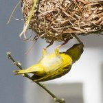 Weaver bird in the grounds