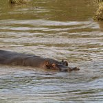 Hippo in the river running through the camp